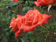 Beautiful rose with the water droplets.