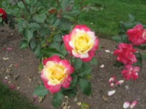 Roan has an amazing talent to find the most beautiful roses.
